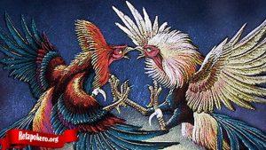Cara Merawat Ayam Petarung Sehari Sebelum Duel