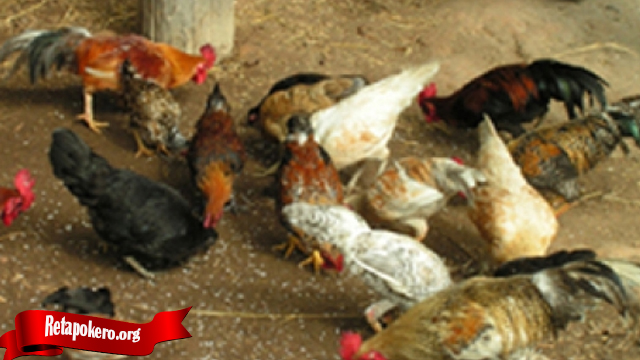 Ini Dia Cara Ternak Ayam Tarung Yang Benar