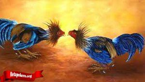 Kenali Sifat Ayam Petarung Anda