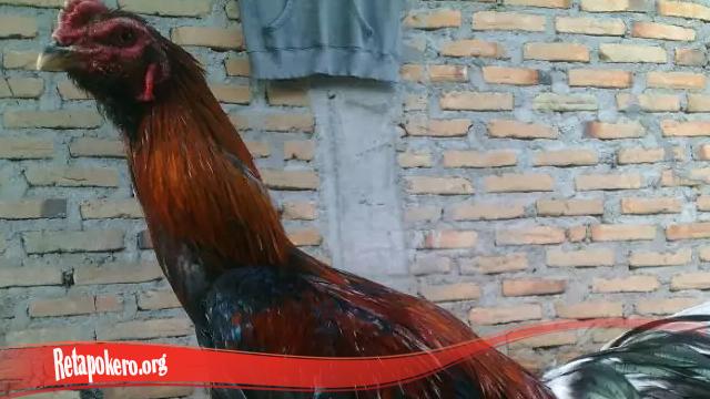Kelebihan Ayam Bangkok Brewok S128