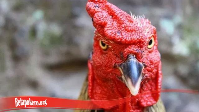Mempercepat Pemulihan Mata Ayam Tarung S128