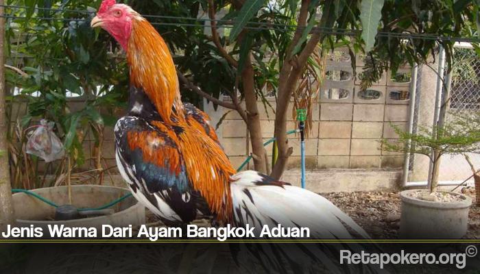 Jenis Warna Dari Ayam Bangkok Aduan