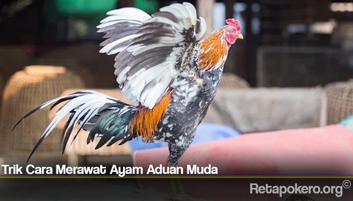 Trik Cara Merawat Ayam Aduan Muda