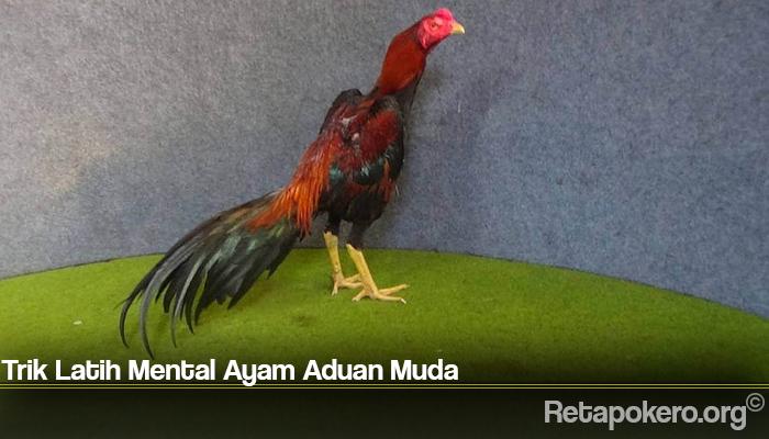 Trik Latih Mental Ayam Aduan Muda