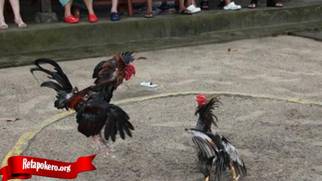 Ayam Bangkok Dengan Jurus Bongkar Yang Mematikan